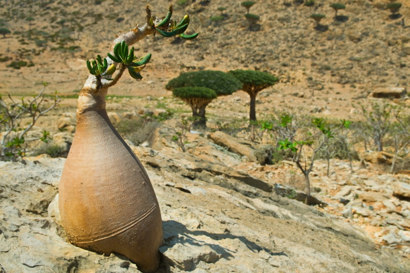 socotra-yemen-arbol (2)