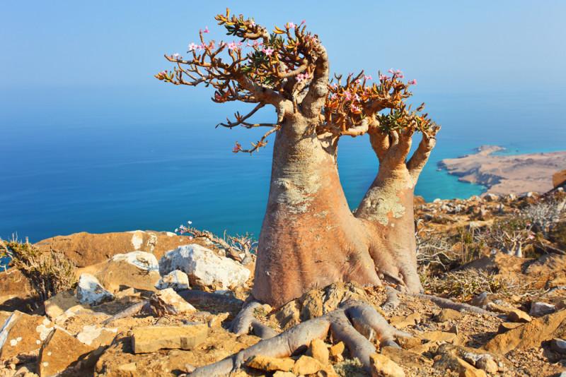 socotra-yemen-arbol