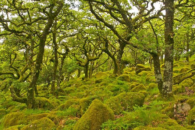 Un bosque que parece encantado en Gran Bretaña (Wistman's Wood)