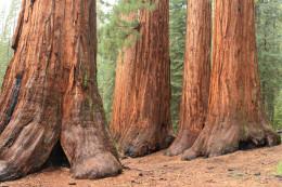 "Un rincón de bosque donde los árboles parecen ""rascacielos"" en Estados Unidos (Mariposa Grove)"