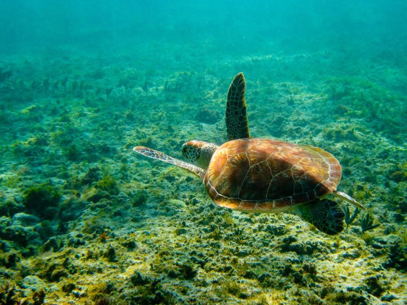 consejos-para-ver-tortugas-en-akumal