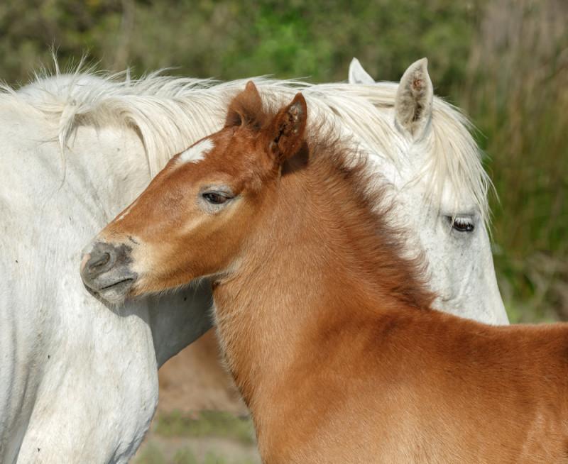 Resultado de imagen de caballos camargue