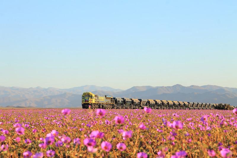 desierto-flores-atacama