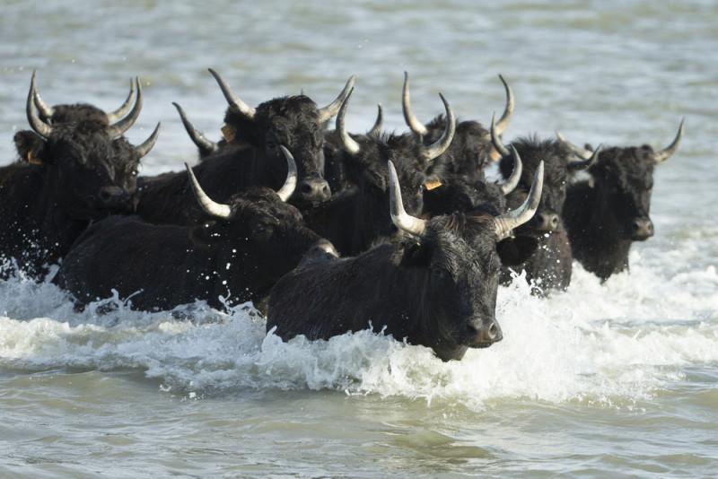 toros-camarga