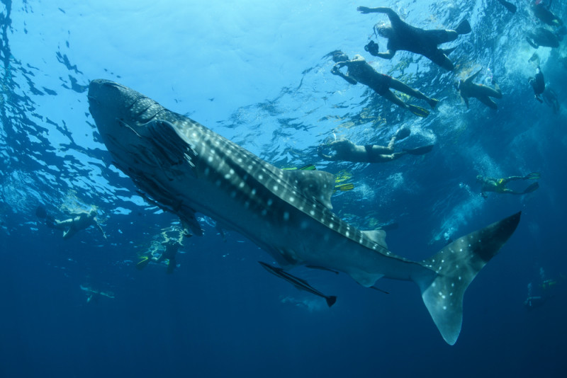 excursion-nadar-con-tiburon-ballena-cancun