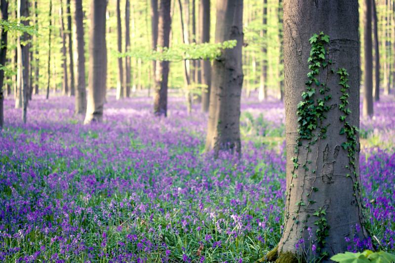 Hallerbos-belgica-bosque