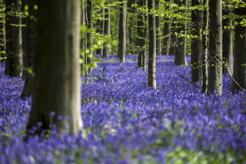 bosque-hallerbos-belgica