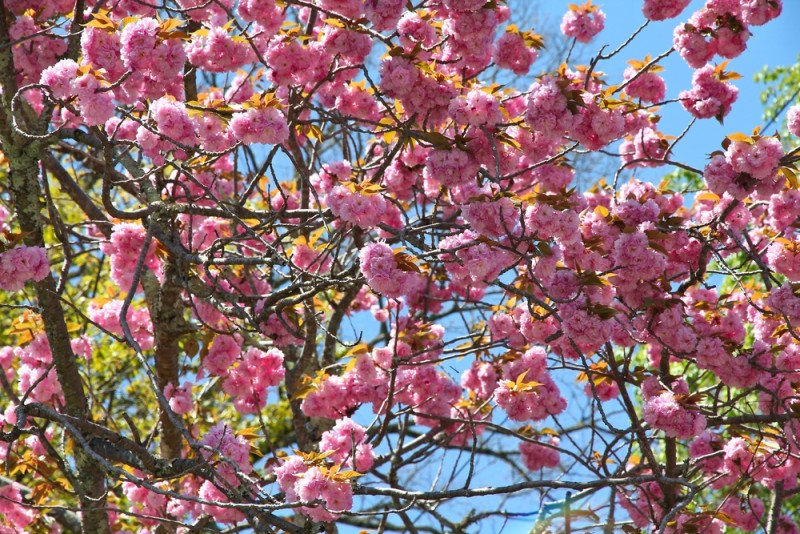 cerezos-floracion-japon